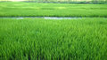 View of young rice sprout ready to growing in the rice field thailand Stock Image