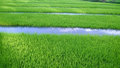 View of young rice sprout ready to growing in the rice field thailand Royalty Free Stock Image