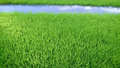 View of young rice sprout ready to growing in the rice field thailand Royalty Free Stock Photos