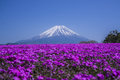 Views of Mount Fuji and phlox blooming in spring Royalty Free Stock Photo