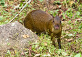 A vigilant Agouti Royalty Free Stock Photo