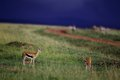 Vigilant gazelles rest in masai mara national reserve in kenya before the rain april Stock Image