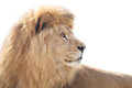 Vigilant lion beautiful and powerful wisely looking into distance Royalty Free Stock Image