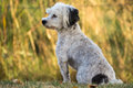 Vigilant little dog white small havanese sitting watchful in grassland Stock Images