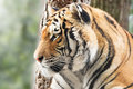 Vigilant tiger beautiful with forest in background Stock Photo