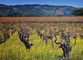 Vigne de Napa Valley, pays de vin la Californie Images libres de droits