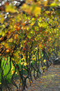 Vignes Photo stock
