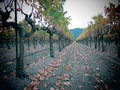 Vignobles dans napa valley Photo libre de droits