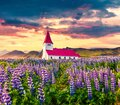 Vik i Myrdal Church, Víkurkirkja, surrounded by blooming lupine flowers in the Vik village. Dramatic summer sunrise in the Royalty Free Stock Photo
