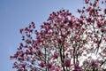 Villa Taranto Pink Magnolia Fl...