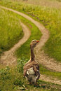 Village. Goose on the road Royalty Free Stock Photo