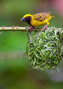 Village (Spotted-backed) Weaver Stock Images