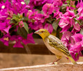 Village Weaver with flower Stock Images