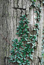 Vine climbing a tree Royalty Free Stock Photos