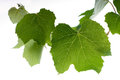 Vine grape leaves isolated stock photo Stock Image