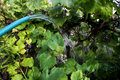 Vine grape watered by garden hose at the vineyard Stock Images