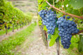 Vine grapes for red wine Royalty Free Stock Images