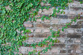 Vine growing on a brick wall Royalty Free Stock Photos