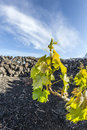 Vine in la geria the wine growing area in lanzarote on vulcanic soil Stock Image
