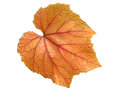 Vine leaf in autumn Royalty Free Stock Photo