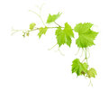 Vine leaves isolated on white. Green leaf Royalty Free Stock Photo