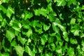 Vine leaves vine-prop 4690 Stock Photography