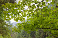 Vine maple at columbia river gorge in oregon along eagle creek trail Stock Photos
