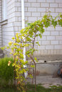 Vine near the house from a white brick Royalty Free Stock Image