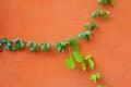 Vine on orange concrete wall green Stock Photo