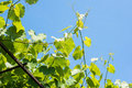 Vine plant against blue sky Royalty Free Stock Photo