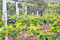 A vine plantation in ohrid macodonia stock photo macedonia may macedonia on may th Royalty Free Stock Photos