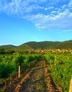 Vine Plantations In Mountain F...