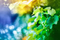 Vine, shallow depth of field shot Royalty Free Stock Photo