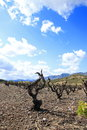 Vine in spring, Pyrenees orientales in France Royalty Free Stock Photo