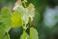 Vine sprout with young bunch of grapes Royalty Free Stock Photo