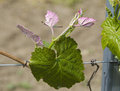 Vine stock with pink leafs flourishing in spring Stock Image