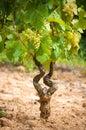 Vine stock in a vineyard Stock Photo