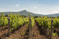 Vine stocks in tuscany grapevines lines Stock Image