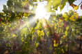 Vine sunbeam pass through the foliage of a Royalty Free Stock Images