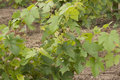 Vine tops and columns at vineyard Royalty Free Stock Photo