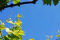 Vine twig green leaves growing at spring over blue sky Stock Photos