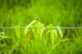 Vine on wire cable bower of blur green grass background Royalty Free Stock Photo