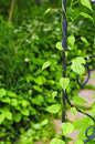 Vine on wrought iron arbor Royalty Free Stock Photo