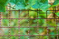 Vine (Coccinia grandis) growing on wire fence Royalty Free Stock Photo