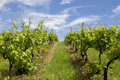 Vine yards in jidvei romania Royalty Free Stock Image