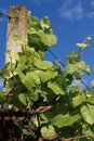 Vine with young green grapes Stock Image
