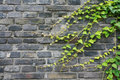 Vines on brick wall Stock Photos