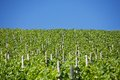 Vines green on a summer day Royalty Free Stock Photos
