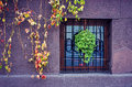 Vines outside building with window colorful growing on the wall of a stone near a decorative security bars Royalty Free Stock Images