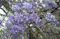 Vines of purple wisteria full hanging from tree branches Royalty Free Stock Image